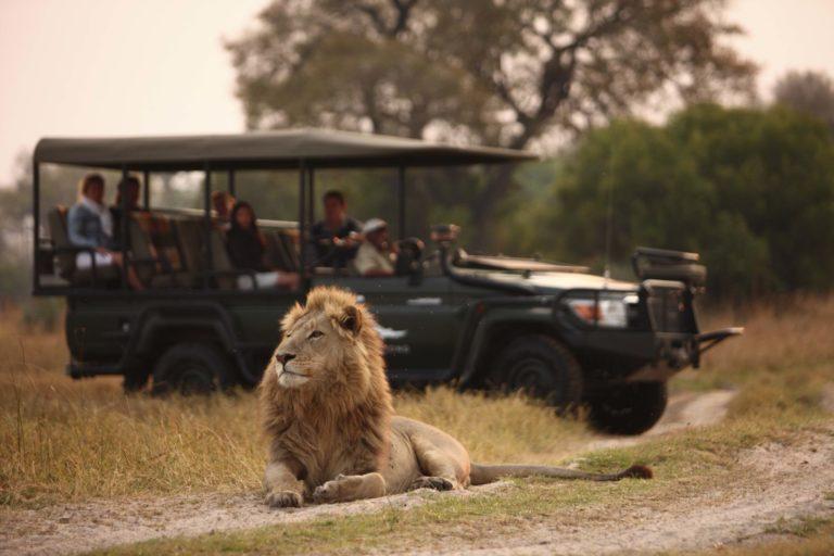 Lion are the dominant predator in the Sandibe area