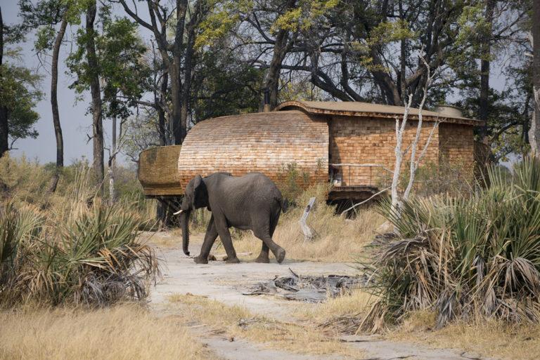Elephants often wander through Sandibe camp at leisure