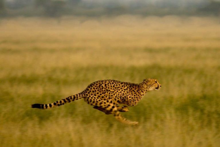 The Kalahari is one of the best places to visit in Botswana for Cheetah