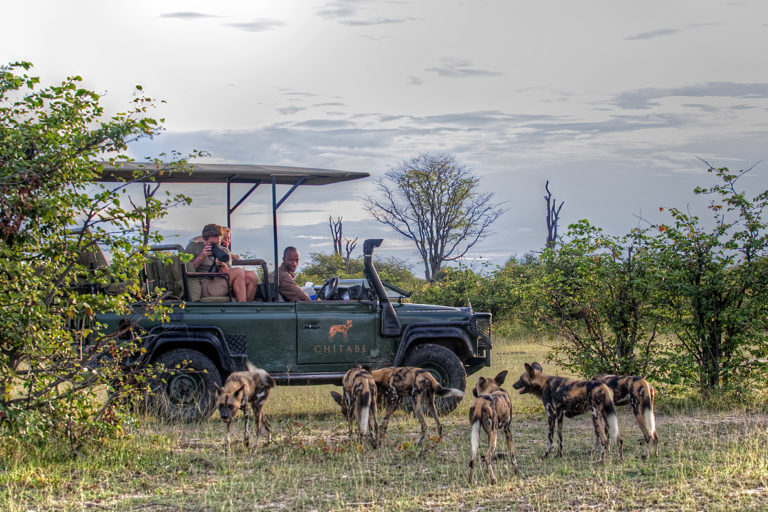 Prized pack of African Wild dog sighted on Chitabe game drive