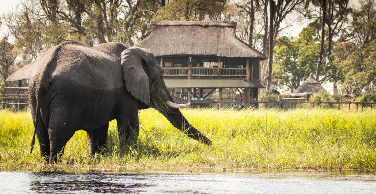Elephant feeding in front of Gunn's Camp main deck area