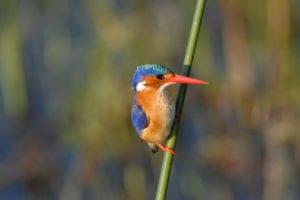 Malachite Kingfishers are a regular sighting on birdwatching tours in the Okavango