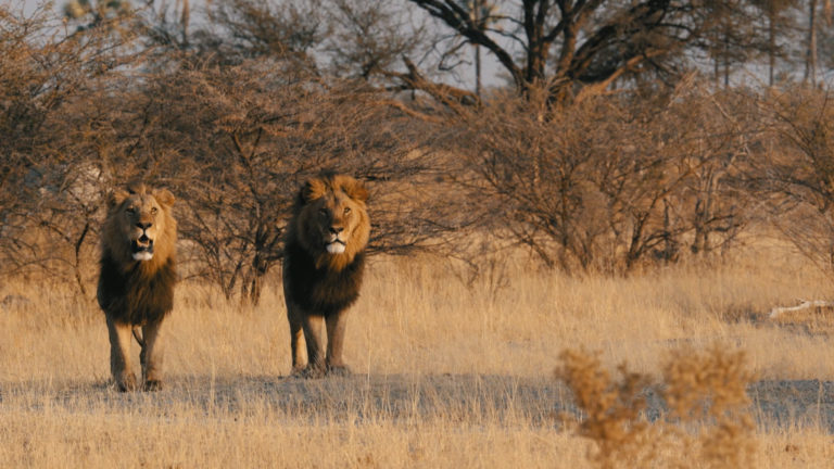 Proud male lion as seen by guests at Chief's Camp