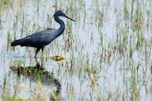 The rare slaty egret can be found seen on birding tours to the Okavango Delta