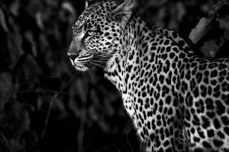 Night time leopard by spotlight at Abu Camp