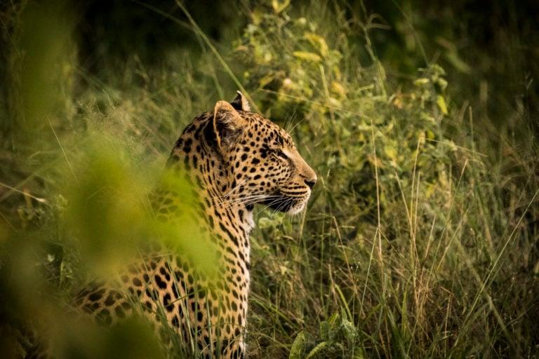 Elusive leopard sighting at Abu Camp