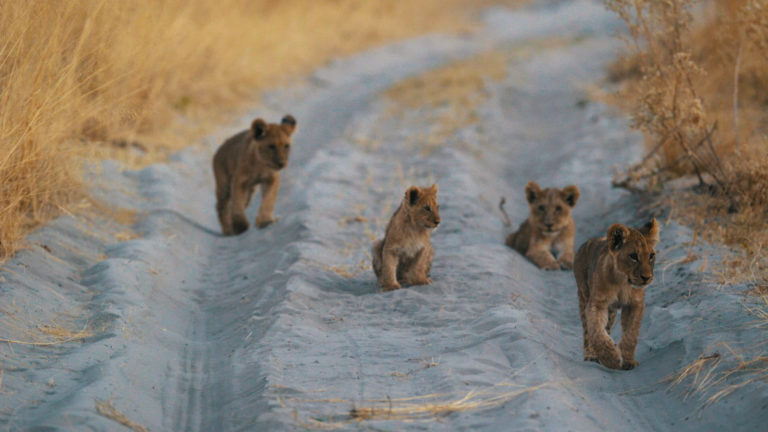 Coveted sighting of lion cubs in the road at Sanctuary Chief's Camp