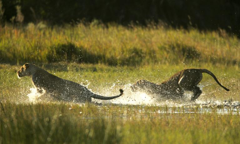 Wild action at Duba Explorer's camp