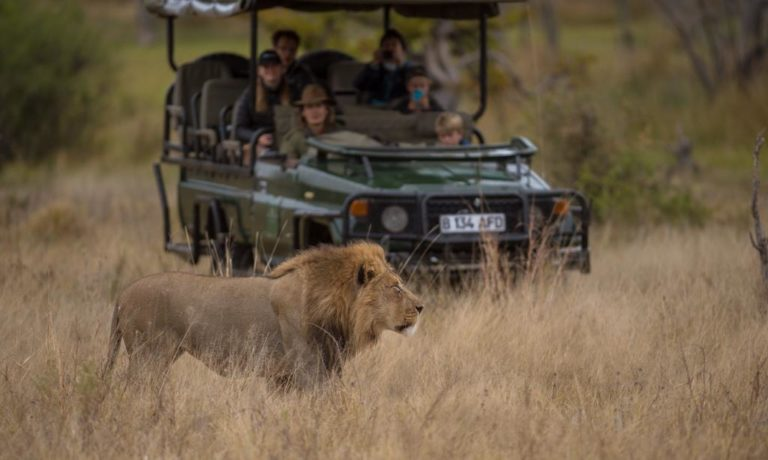 Close lion encounter on Barclay Stenner game drive vehicle