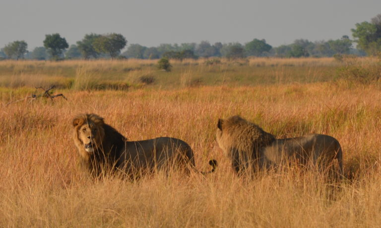 Lions as seen on morning game drive from Splash Camp