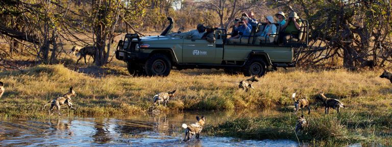 Pack of African wild dogs as seen from Kwara Safari vehicle
