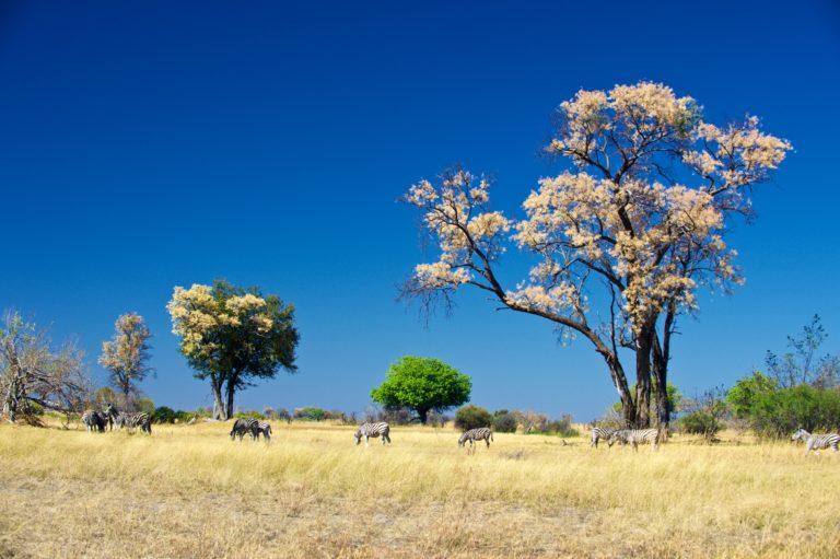 Bushveld spring time scene from Kwara Camp