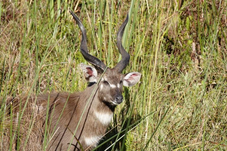 An elusive Sitatunga seen in the surrounds of Setari Camp