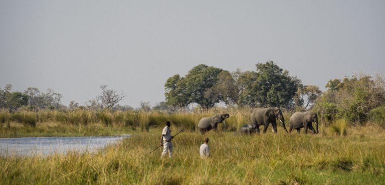 Okavango Mobile Expeditions walking- Elephants