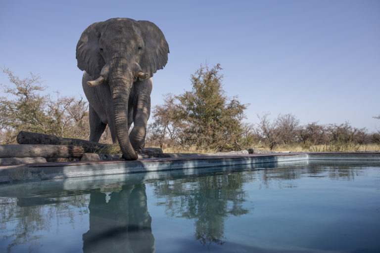 Camp Kalahari welcomes elephant visitors to its swimming pool area