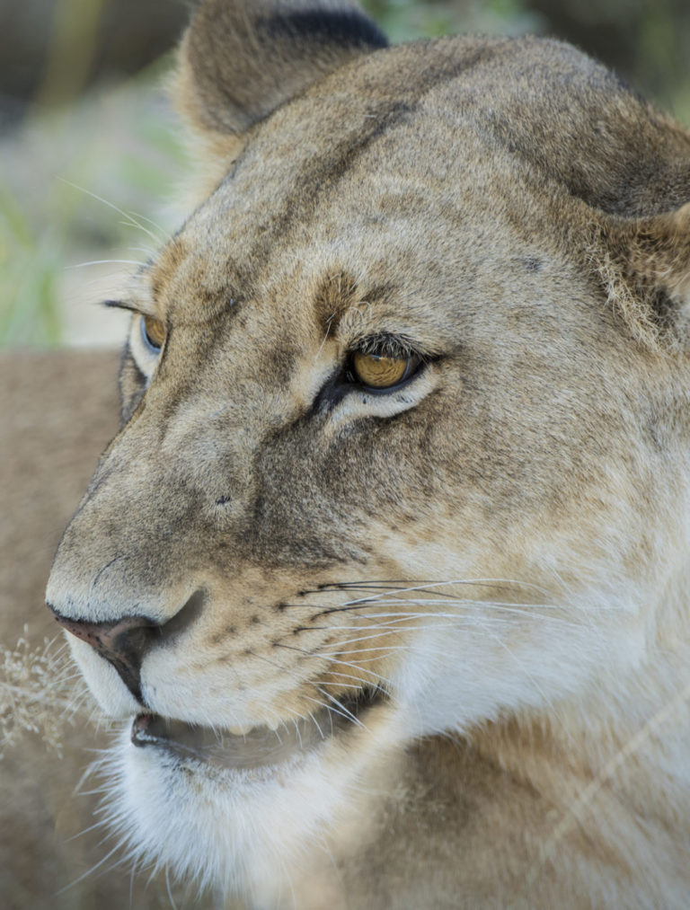 Lioness portrait taken on the khwai private reserve