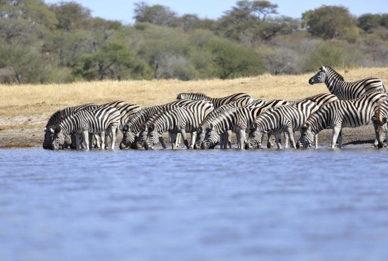 Zebra drinking along the Boteti River at Meno a Kwena