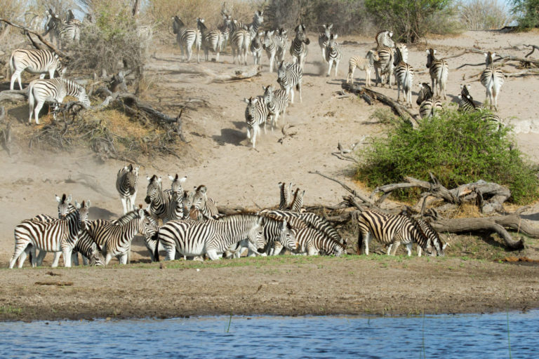 Zebra drink at the Boteti river