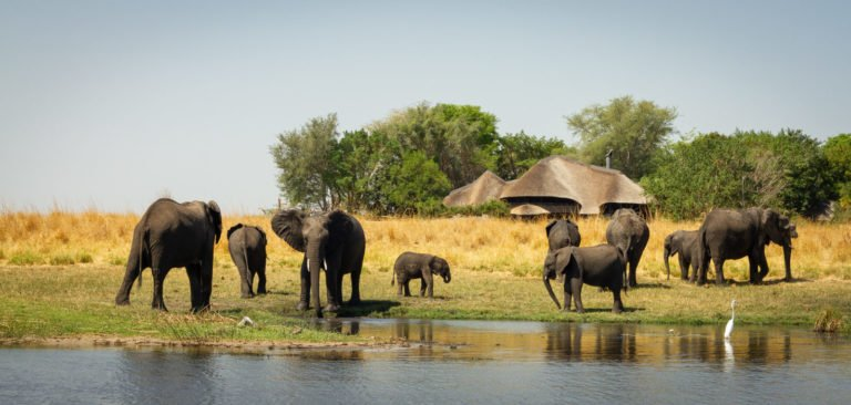 Elephants come to drink at the river at Chobe Savanna