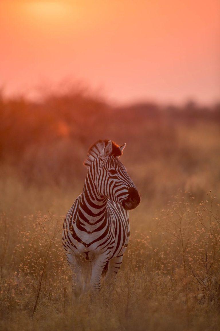 Zebra in the Kalarhari desert which lies south of the Okavango Delta