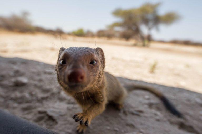 Mongoose close up portrait at Dinaka Camp