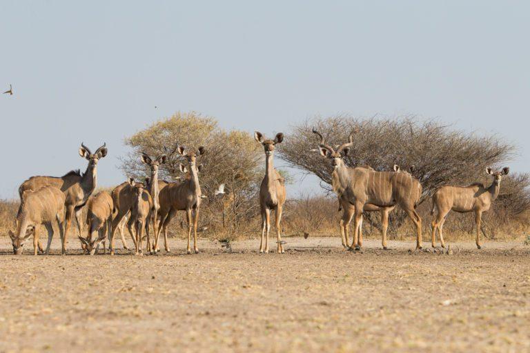 A kudu family seen at the hide at Dinaka Camp