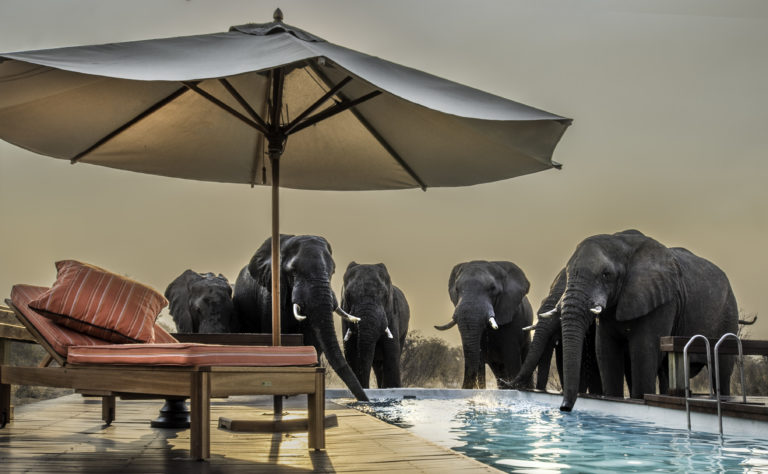 Elephant visitors to the Feline Field Lodges' swimming pool & sun loungers