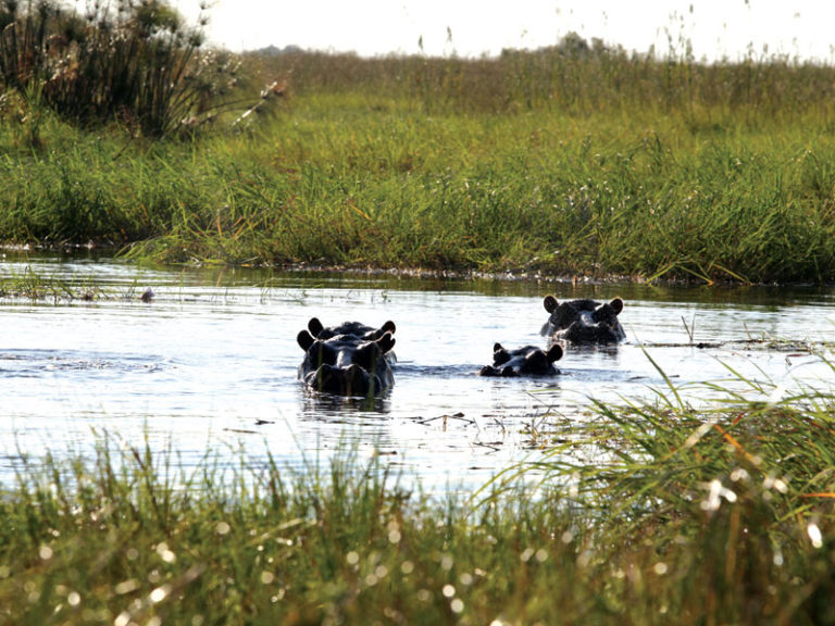 Shakawe River Lodge has many resident hippo in the area