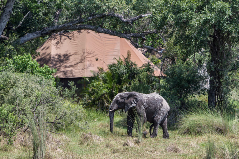 Elephant visitor to Kanana Camp guest tent