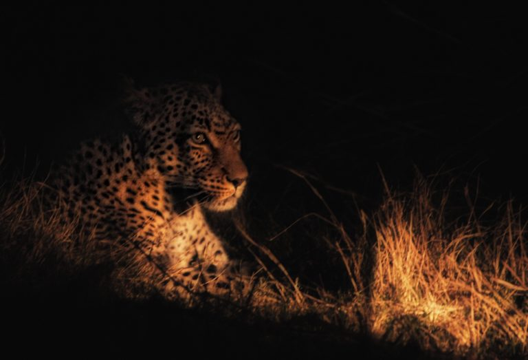Elusive leopard as seen on Khwai Leadwood night drive