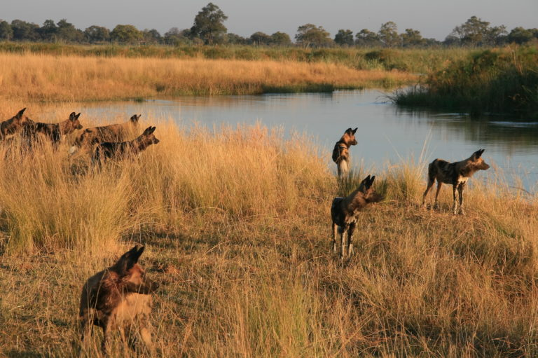 Thrilling sighting of African Wild Dog at the waters edge on the Kwando Reserve