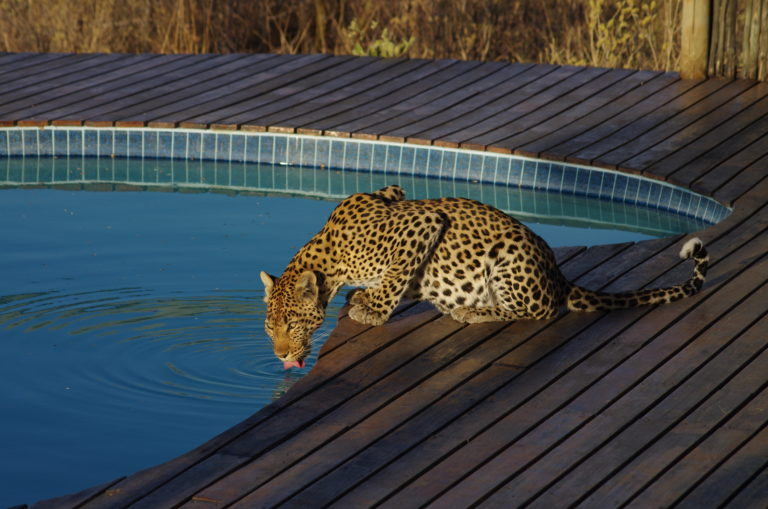 A leopard drinks from the swimming pool at Tau Pan Camp