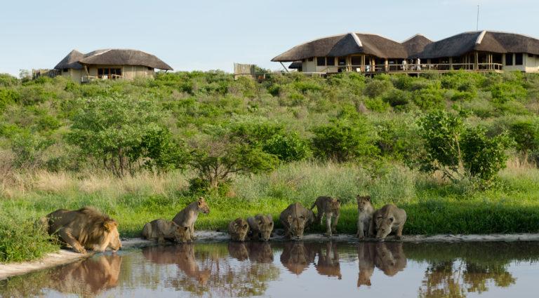 Lions at the waterhole below Tau Pan Camp
