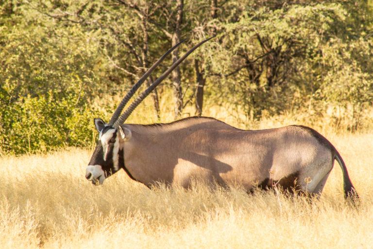 Oryx as seen by Tau Pan guests on safari