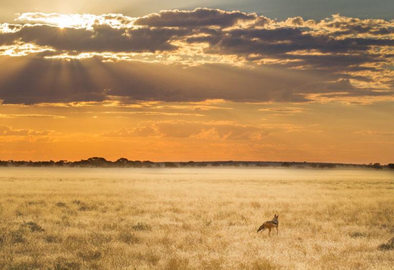 Spectacular light and skies enhance image of jackal at Tau Pan