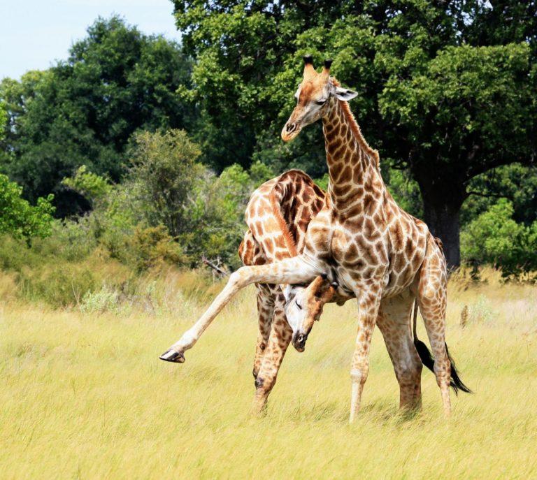 Giraffes on the plains around Lebala Camp
