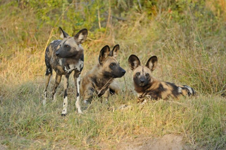 Lebala Camp is one of the best places to find wild dog