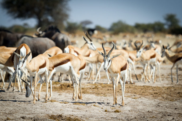 Springbok are adapted to the desert like conditions of Nxai Pan