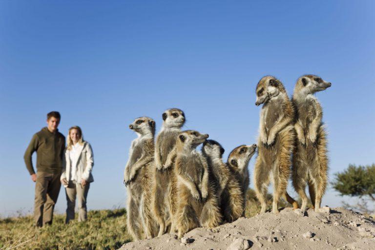 The semi habituated meerkat colony at San Camp provide endless entertainment