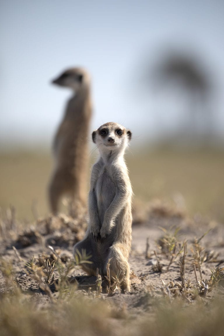 Planet Baobab meerkat interactions