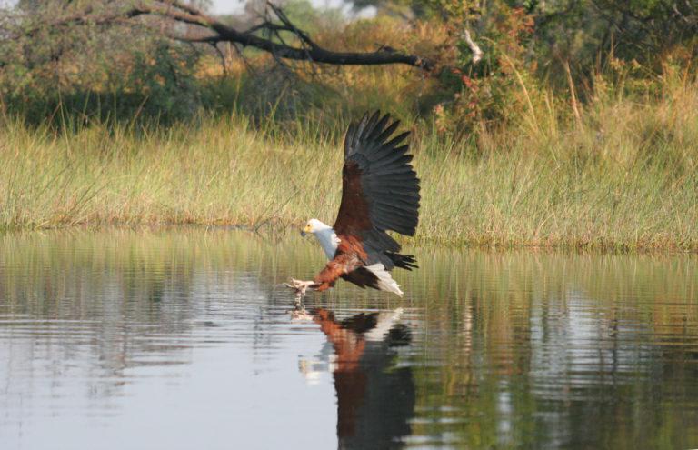 Fish eagle on the hunt at Pom Pom Camp