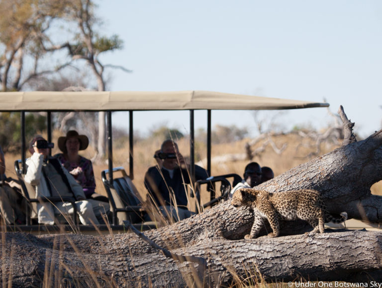 Leopards are common around Pom Pom Camp