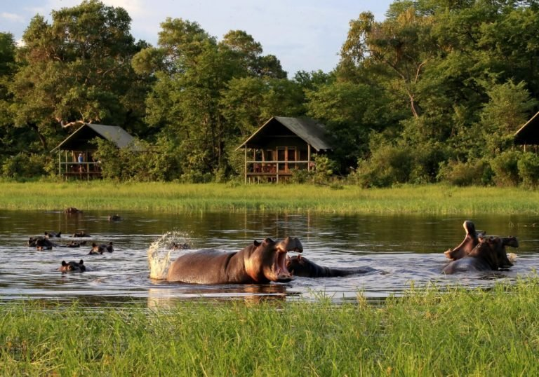 Wallowing hippo in front of Sable Valley Lodge