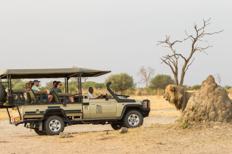 Male lion up close on Savute Lodge game drive