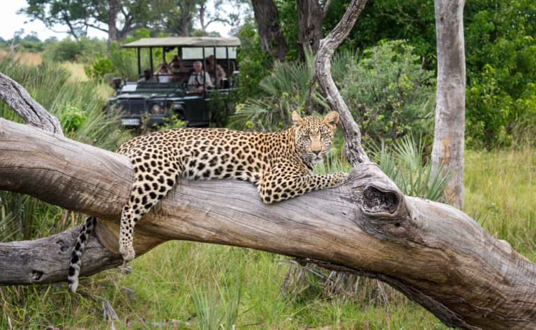 Leopard lounging on tree branch as sighted on safari from Seba