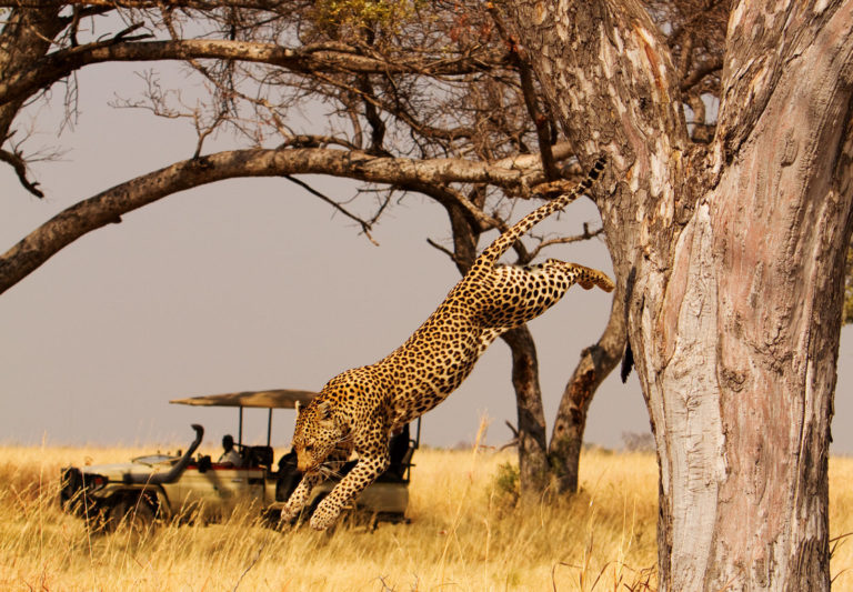 Leaping leopard spotted on Shinde Camp game drive