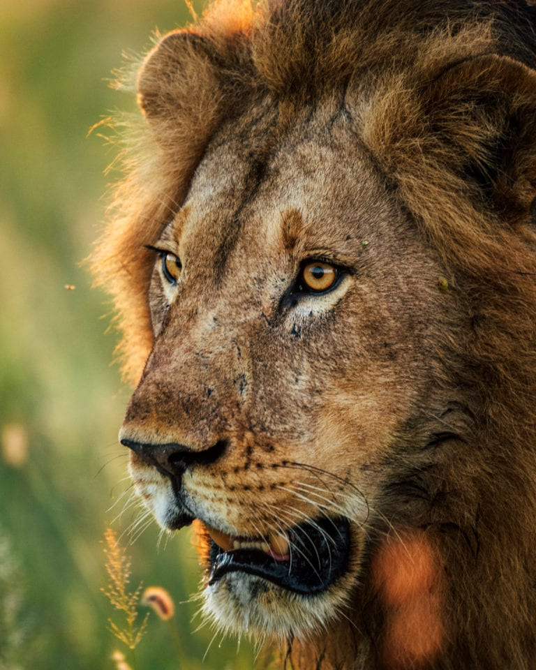 San Camp lion in the Makgadikgadi Pans