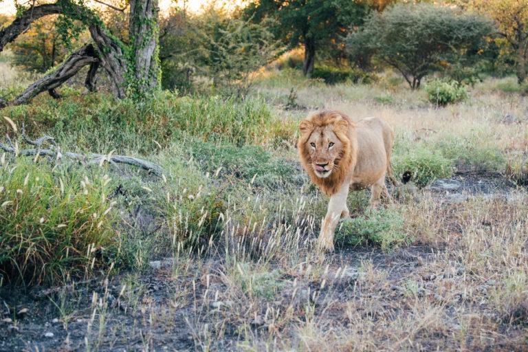 Wildlife at Jacks Camp, a Lion walking
