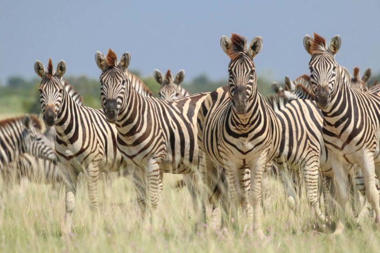 Wildlife - Zebras in the grass at Jacks Camp