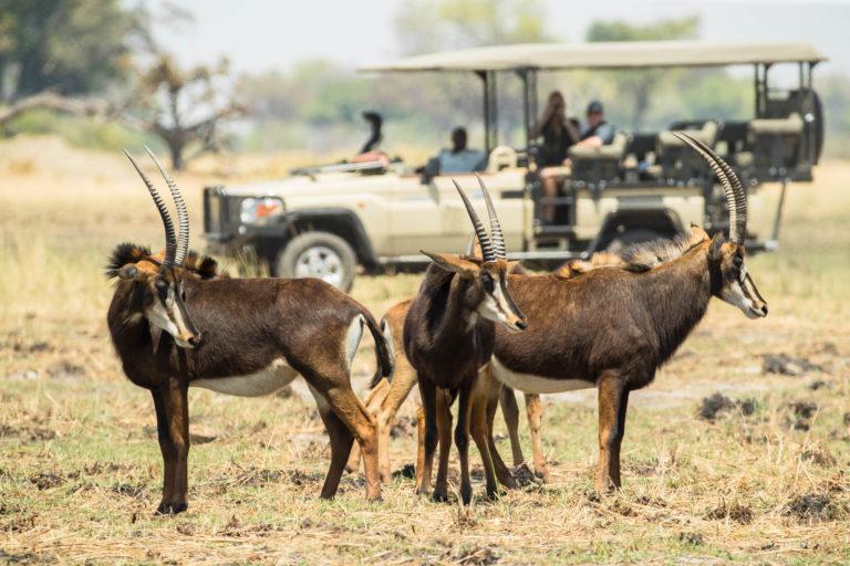 Xugana game drive sighting of Sable antelope